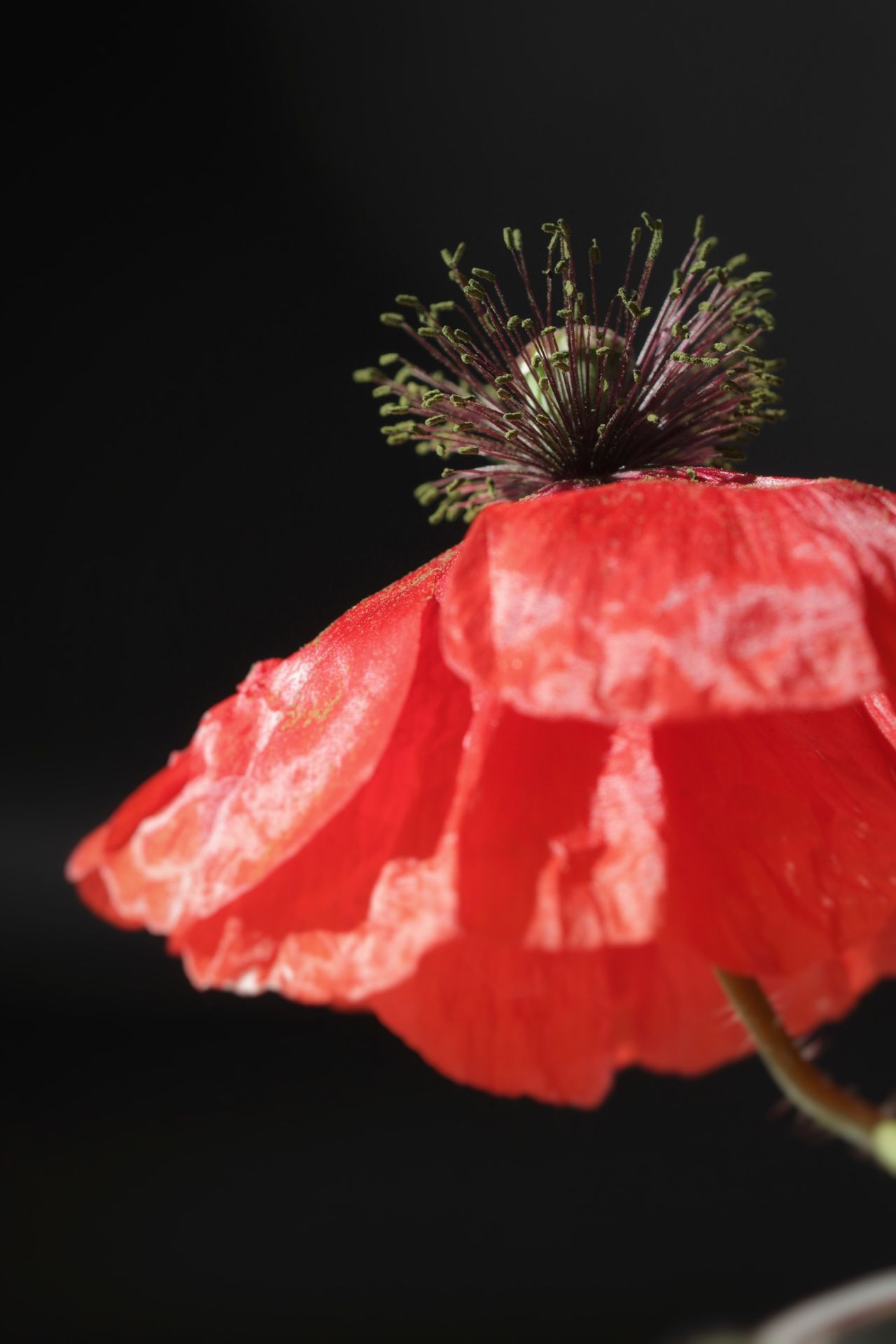 Showcase : Juli Macro Beauty Canonphotography Macro Nature Red Poppy Poppy Flower Nature Canon600D Naturelovers Flower Simplicity