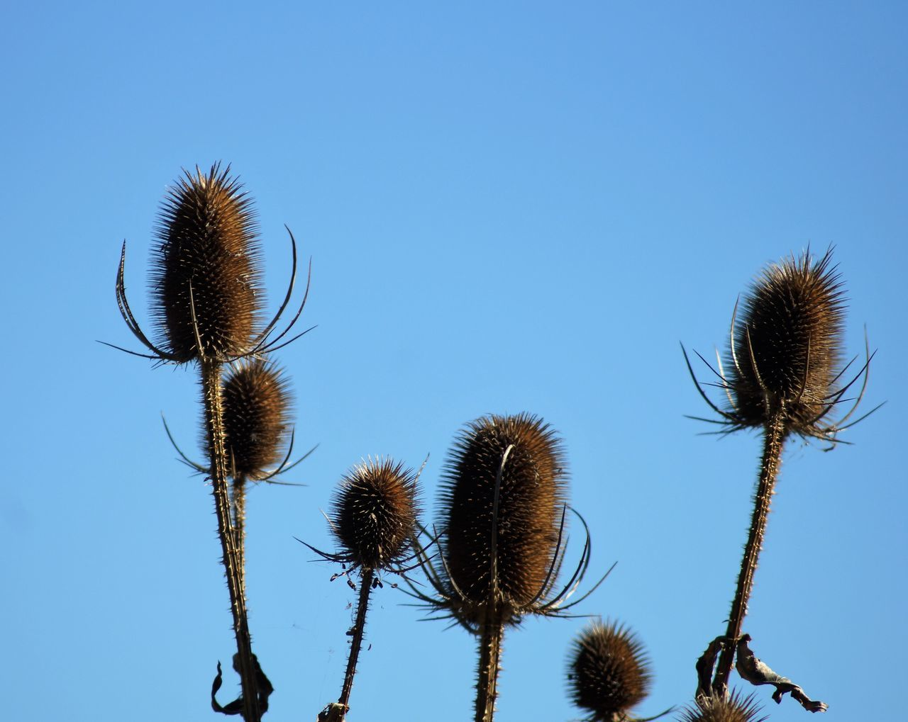 Beauty In Nature Blue Clear Sky Close-up Day Dried Plant Dry Flower Focus On Foreground Fragility Growth Low Angle View Nature New Life No People Outdoors Plant Spiked Spiky Stem Tall - High Thistle Thorn Tranquility Uncultivated