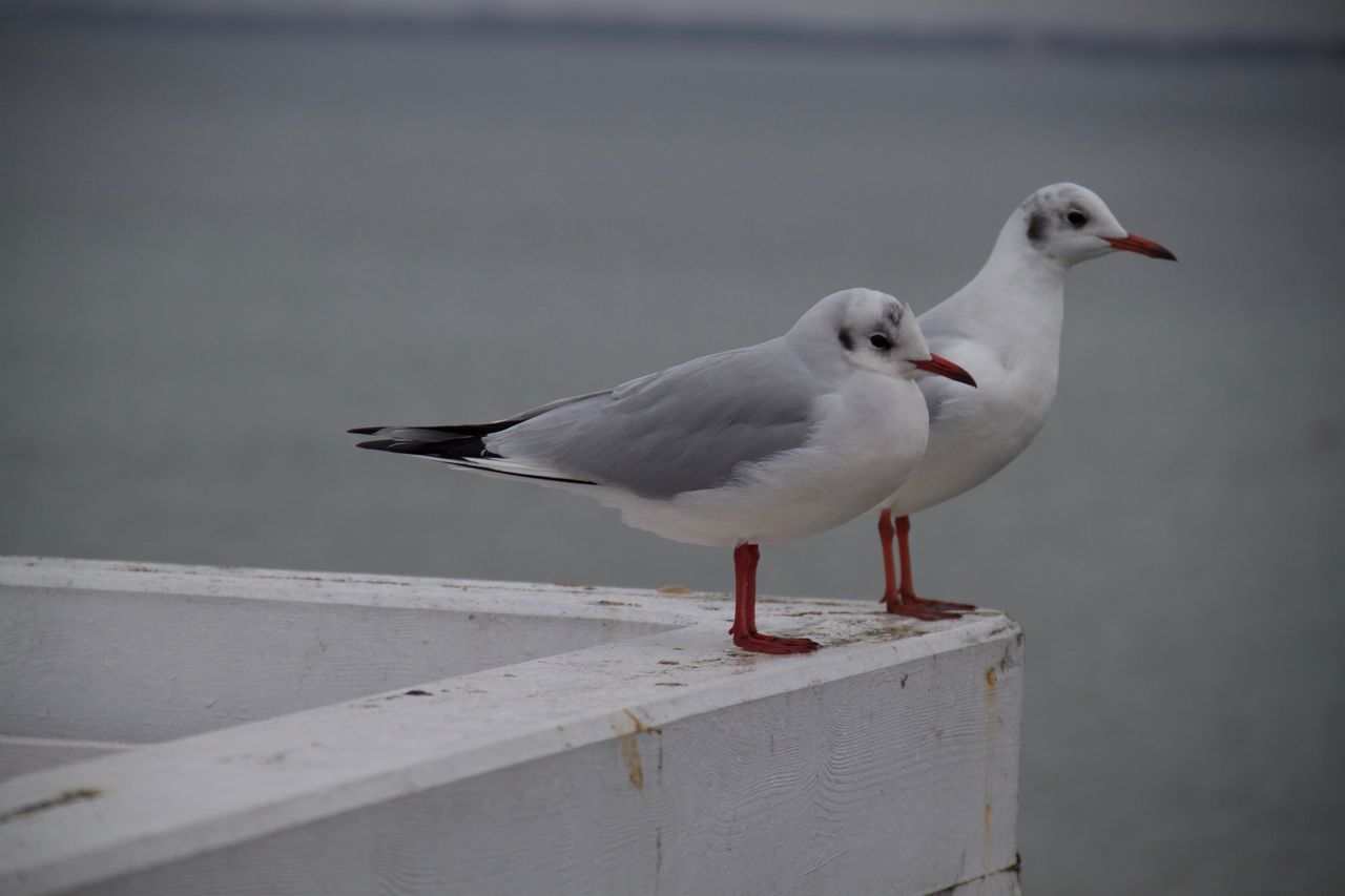 bird, animal themes, animals in the wild, seagull, one animal, black-headed gull, white color, animal wildlife, day, perching, no people, nature, outdoors, close-up