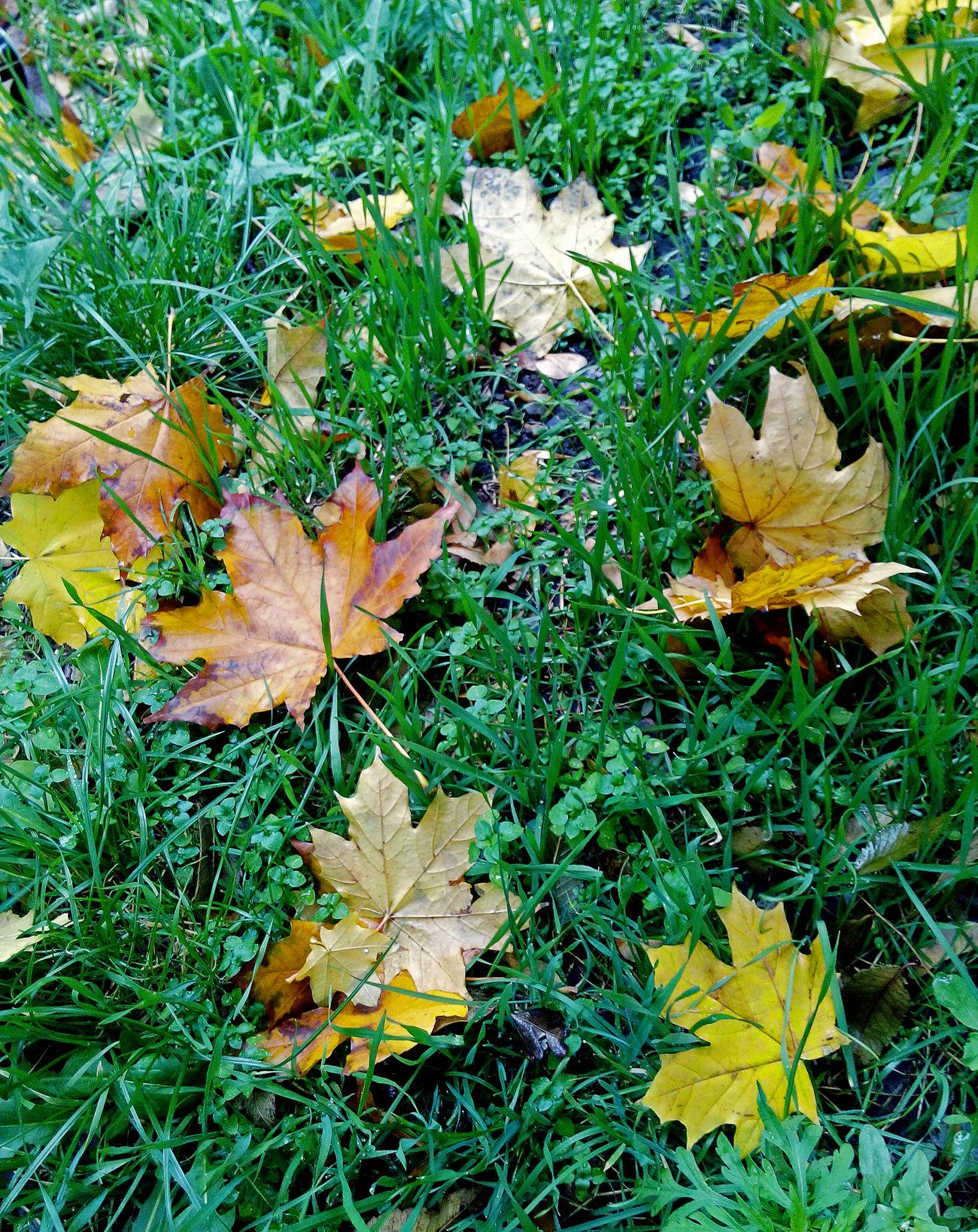 No People Beauty In Nature Nature Leaf Grass Green Color Outdoors Close-up Nature Yellow Green Color желтый красота Природа листья осенние листья Autumn🍁🍁🍁 Autumn Colors Коричневый Autumn After A Rain Wet Leaves после дождя  мокрые листья