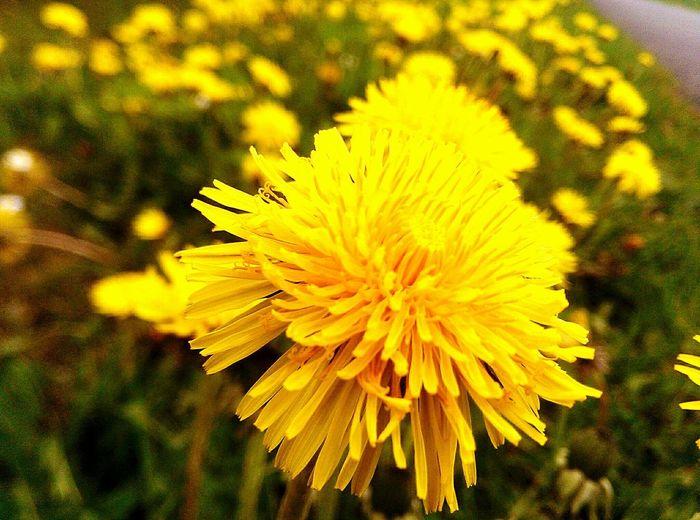 Lemon By Motorola Yellow Flower Special_shots Nahaufnahme EyeEm Nature Lover Blumen