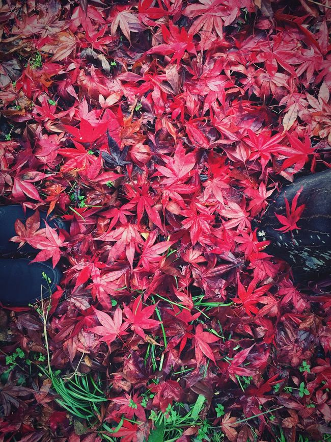 Pattern Pieces Maple Leafs with Japanese Maple Wet Feet RainyDay Redcolor  Green Grass RedLeaves Wood - Material Texture In Nature Patterns In Nature Autamn Leaves Autumn Trees Yellow Leaves Natural Pattern Creative Ideas Pattern, Texture, Shape And Form Nature Textures Patternmaking Place At Miyota Town in Nagano, Japan 自宅パターン🍁🍂🍃(汗)