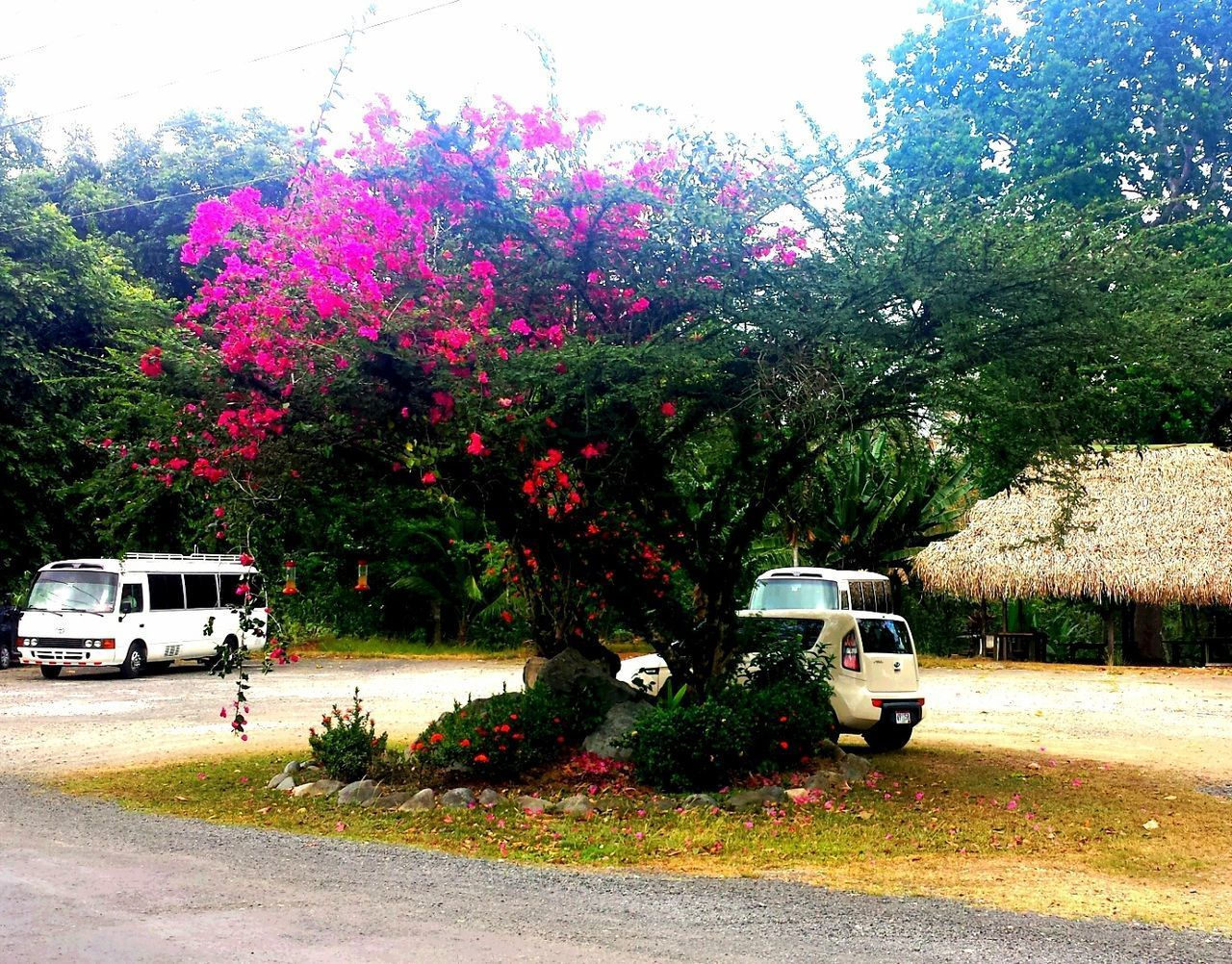 land vehicle, tree, transportation, mode of transport, car, road, street, day, flower, outdoors, no people, nature