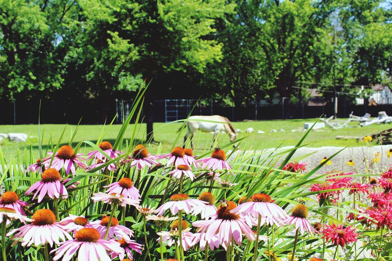 Capture The Moment Enjoying The Sun Detroit Zoo Wild African Horse Pink Flower Pink Daisy Horse Grazing Horse Pink Mums Animal_collection Animal Pastel Power Capturing Movement