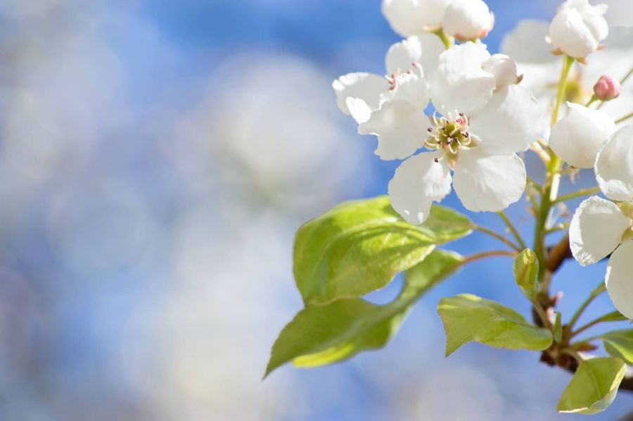 Spring Flowers Flower Beauty In Nature Fragility Nature Growth Freshness Springtime Blossom Branch Petal Twig Close-up Tree Day Leaf White Color Outdoors Flower Head No People Low Angle View