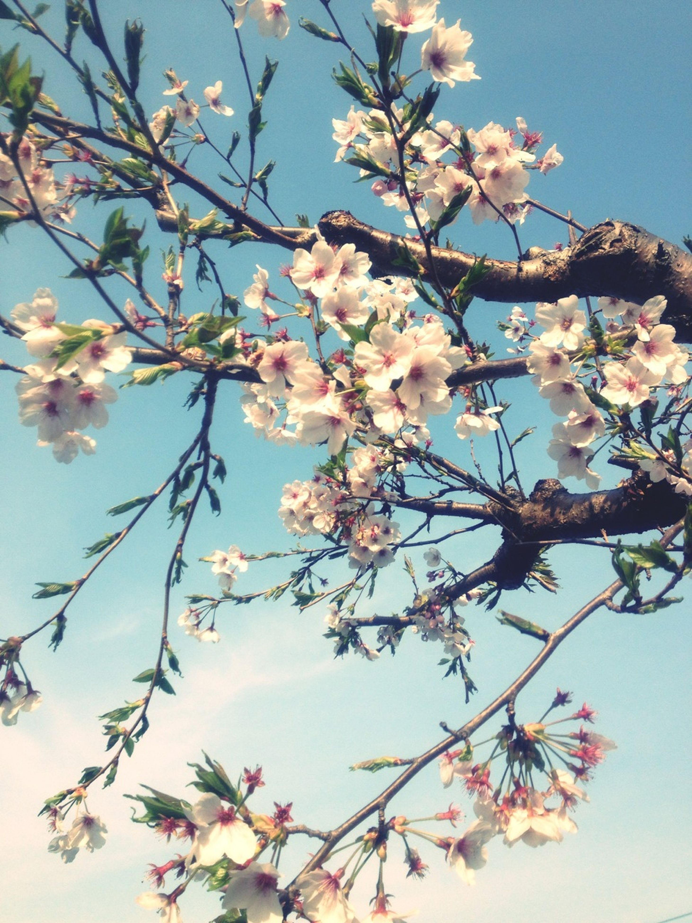 flower, freshness, branch, fragility, growth, blossom, low angle view, cherry blossom, tree, beauty in nature, cherry tree, petal, nature, blooming, in bloom, clear sky, springtime, fruit tree, pink color, twig