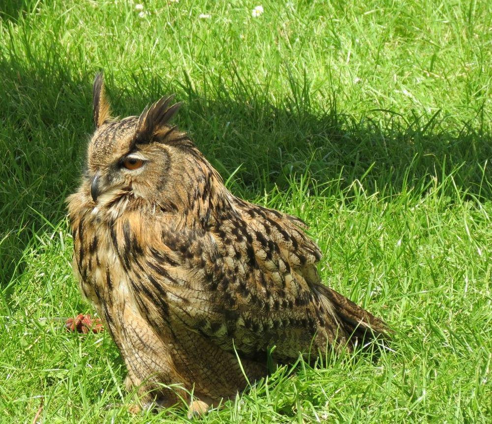 Eurasian Eagle Owl