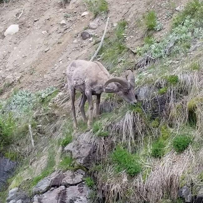 BigHorn Sheep grabbin' some Grub in the Sylvanpass yellowstone