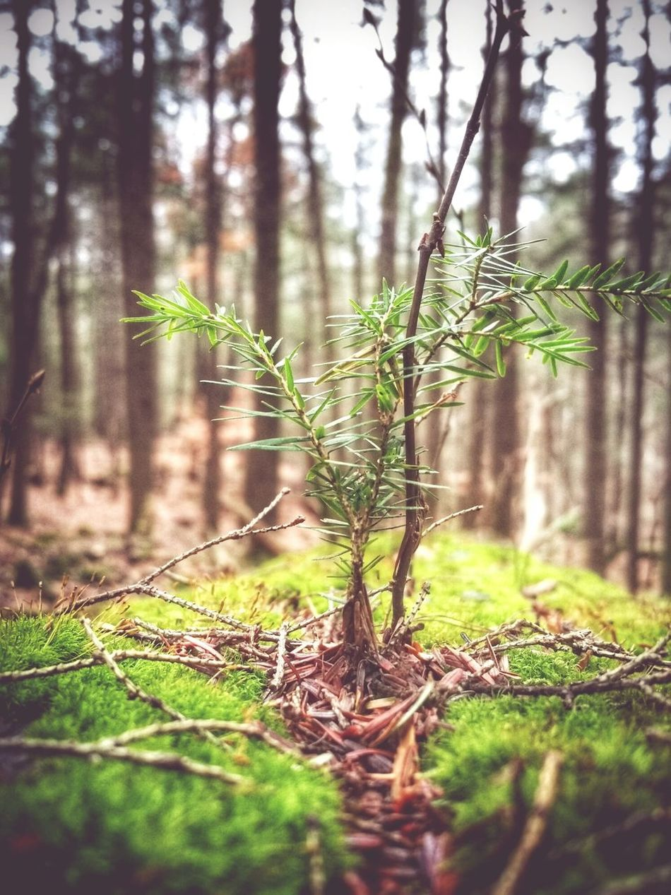 Fell in love with this baby Hemlock,growing out of the mossy bark of a fallen 100 plus year old Hemlock that fell in a storm a few years ago Hello World Nature EyeEm Nature Lover Trees Forest Hiking From Where I Stand Tree_collection  Peace And Quiet EyeEm Best Shots Moss Soltitude Naturelovers Meditation
