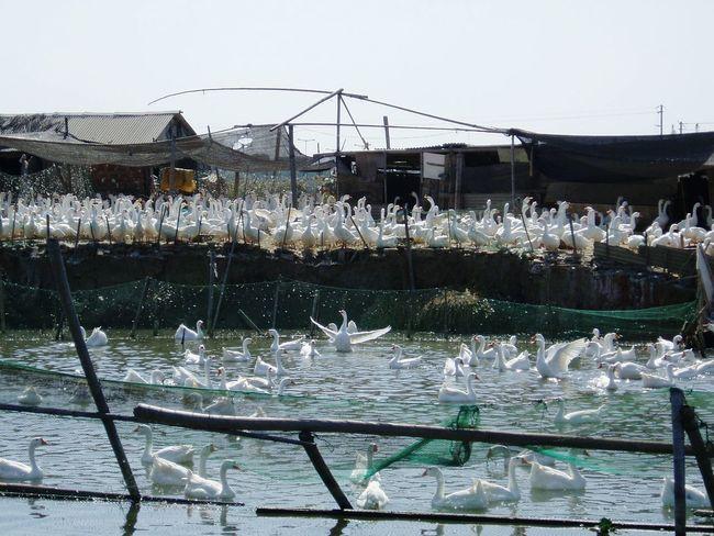 Gooses Goose White Goose White Gooses Tongli Tongli China Goose At Lake Goose Farm Crowd Chinese Gooses Gänsefarm Gänse