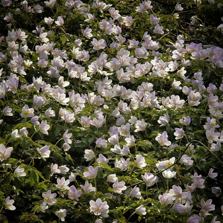 Like a sea of wood anemones in the eveningsun. Forest Naturelovers Anemone Eye4photography  EyeEm Nature Lover Flowers EyeEm Gallery Spring Flowers EyeEm Flower Spring Into Spring