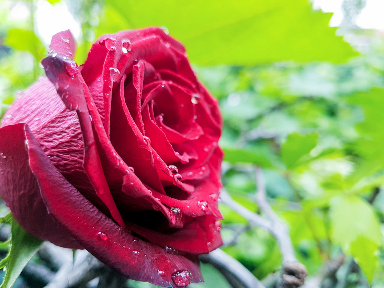 Flower Red Nature Drop Fragility Rose - Flower Petal Growth Beauty In Nature Freshness Flower Head Close-up Day Outdoors Plant Springtime No People Water Petunia Love Rosé