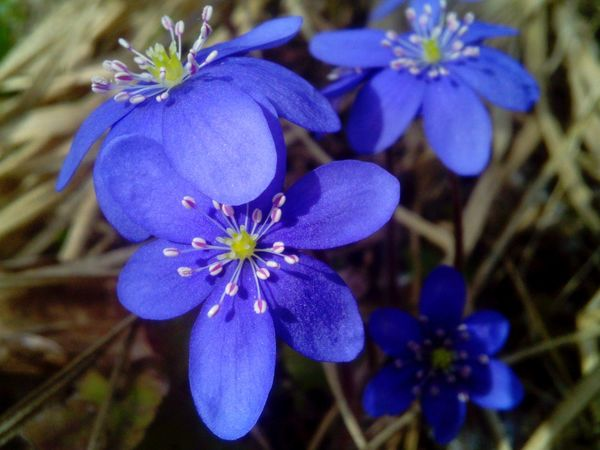 Showcase April Blue Blossom Anemone Hepatica Flowers_collection Fresh Blooms Beautiful Nature Close Up Nature Inspirational Shunshine And Blossom