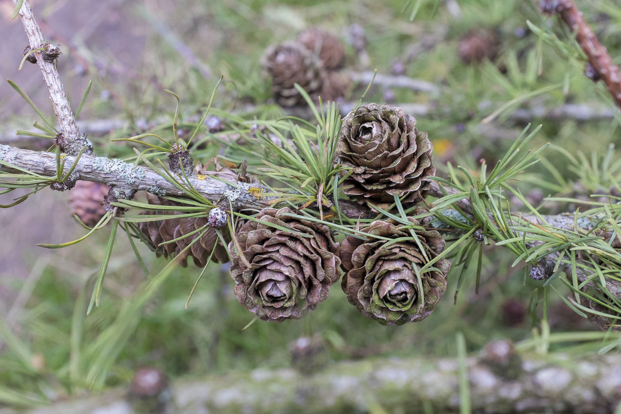 Pine cones on tree Autumn Conifer  Conifer Cones Coniferous Tree Coniferous Trees Conifers Forest Nature Pine Cone Pine Cones Pine Cones On Pine Tree Winter Wintertime WoodLand Woodlands Woods