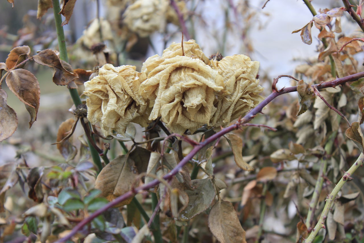 dry, nature, focus on foreground, plant, fragility, close-up, beauty in nature, dried plant, no people, outdoors, day, flower, flower head