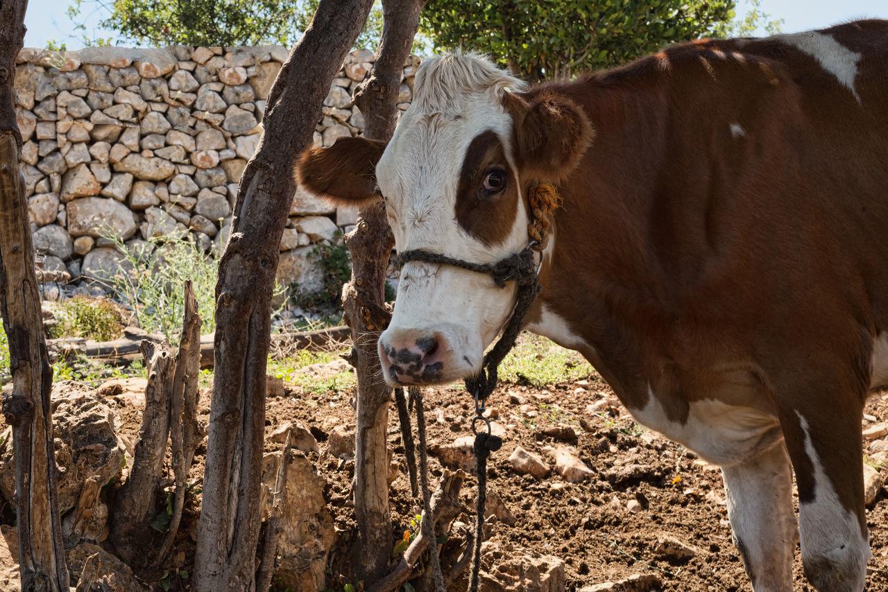 Cow Farm Animal Themes Beef Domestic Animals Field Landscape Livestock Mammal Milk Nature One Animal Standing Turkey Uzuncaburç