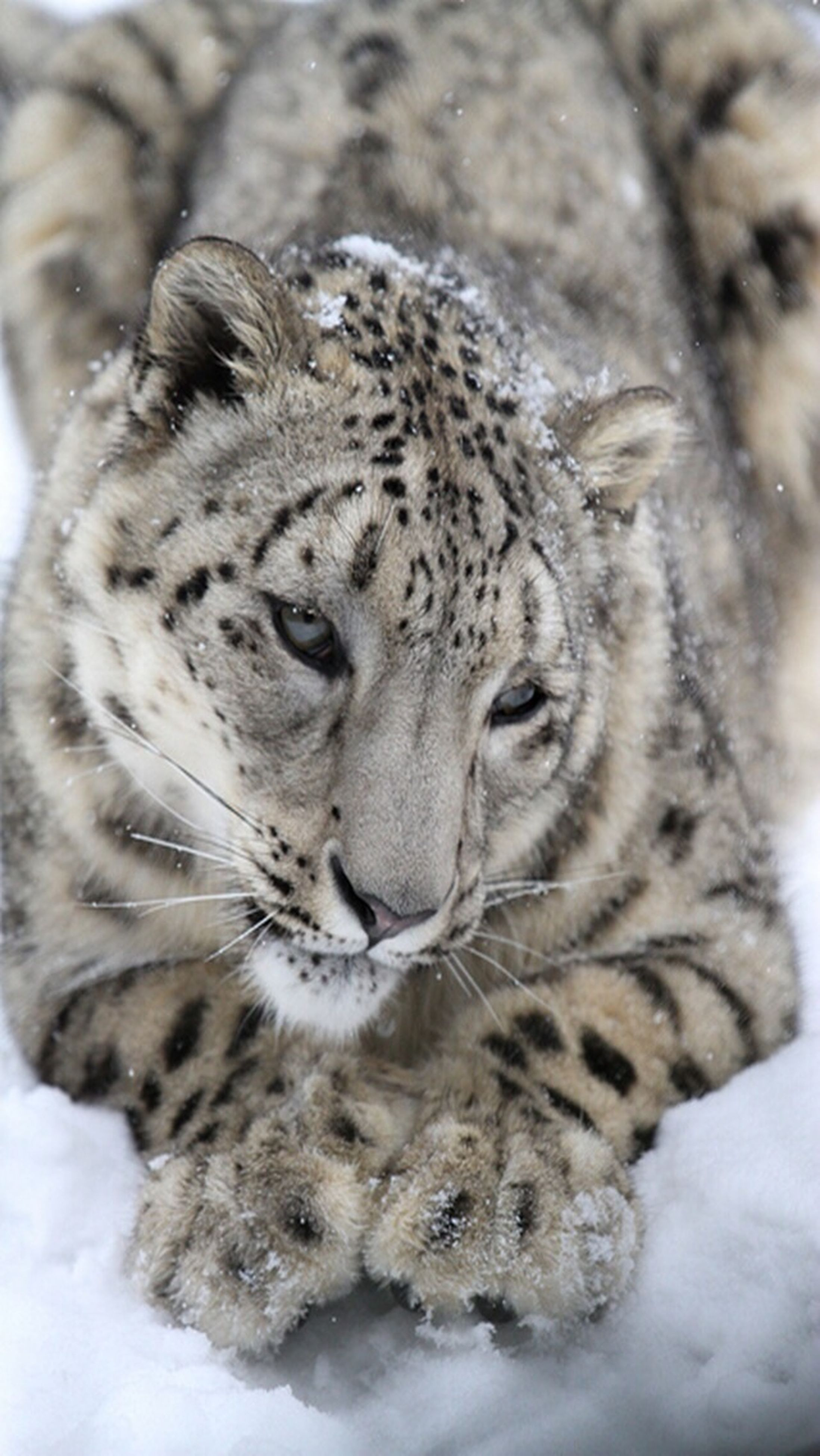 animal themes, animals in the wild, one animal, wildlife, mammal, close-up, animal head, focus on foreground, safari animals, animal markings, animal body part, big cat, tiger, endangered species, no people, portrait, nature, day, outdoors, whisker