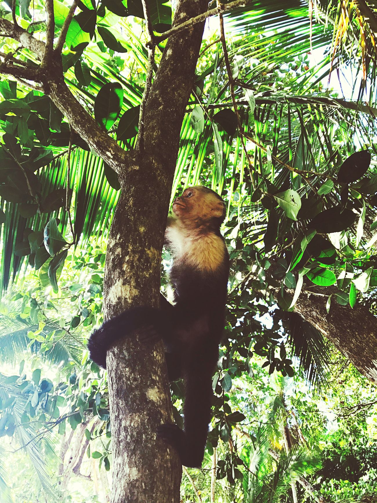 Mono Cara Blanca Costarica