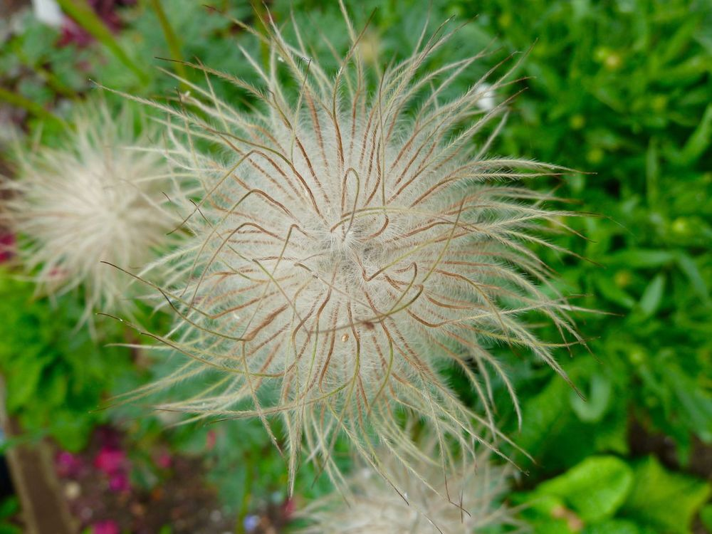 Pulsatilla Flower Seed Head Growth Plant Nature Fragility Uncultivated Wildflower Beauty In Nature Close-up Flower Head Day Freshness Focus On Foreground Outdoors No People Springtime