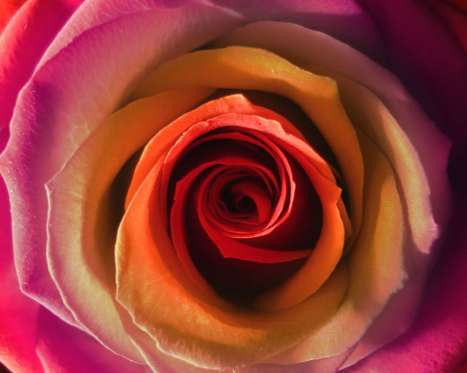 Beautiful stock photos of roses, backgrounds, beauty in nature, blooming, blossom