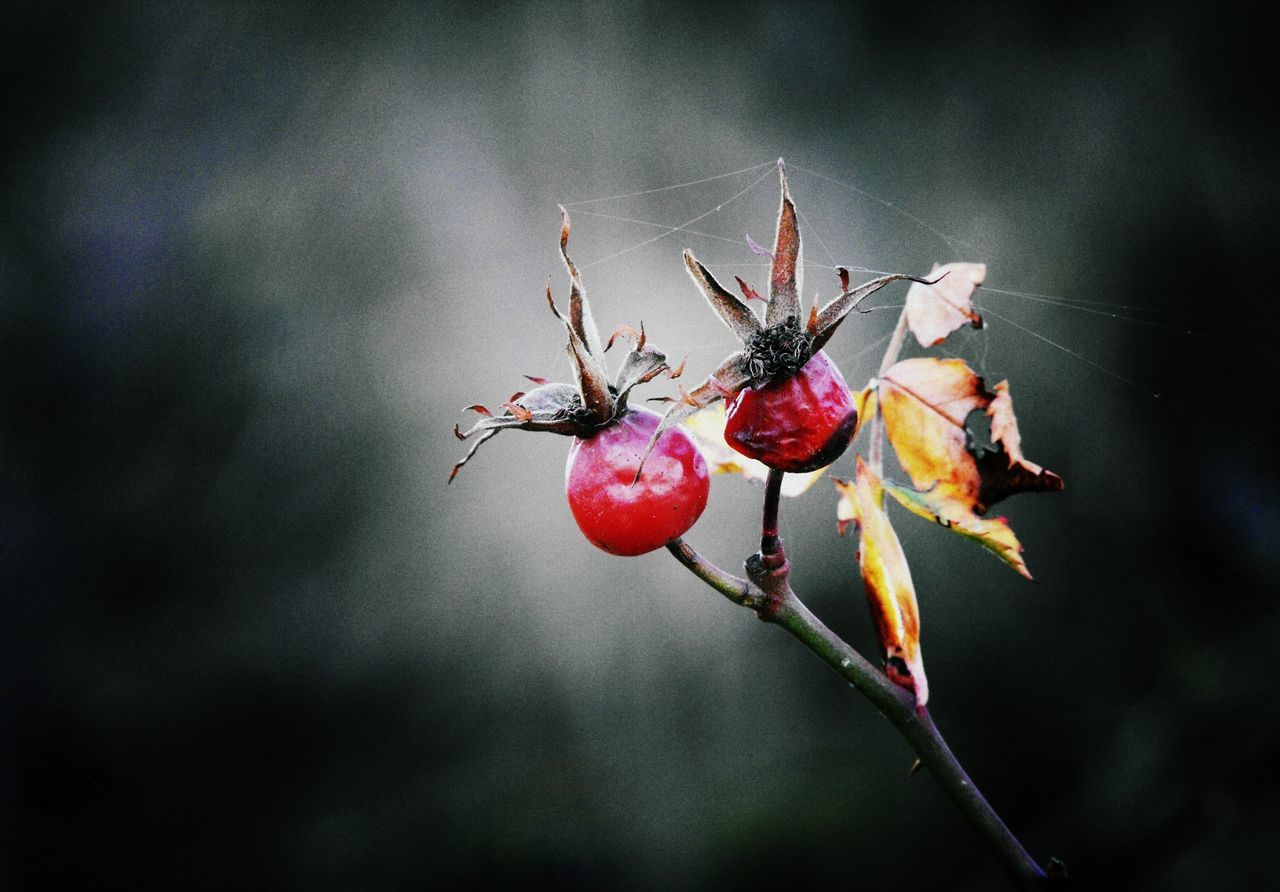 Growing old together Beauty In Nature Beauty In Nature Bokeh Close-up Fruit Fruits Nature Nature Nature Photography Outdoors Photography Plant Plants Red Rose Hip Rose Hip Rose Hips Spider Web