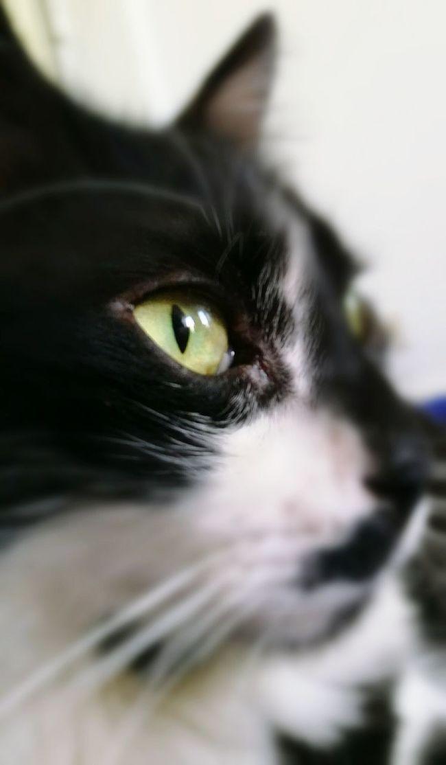 Green Eyes Animal Eye Close-up Domestic Cat One Animal Cat♡ Cat Cat Eyes Cateyes