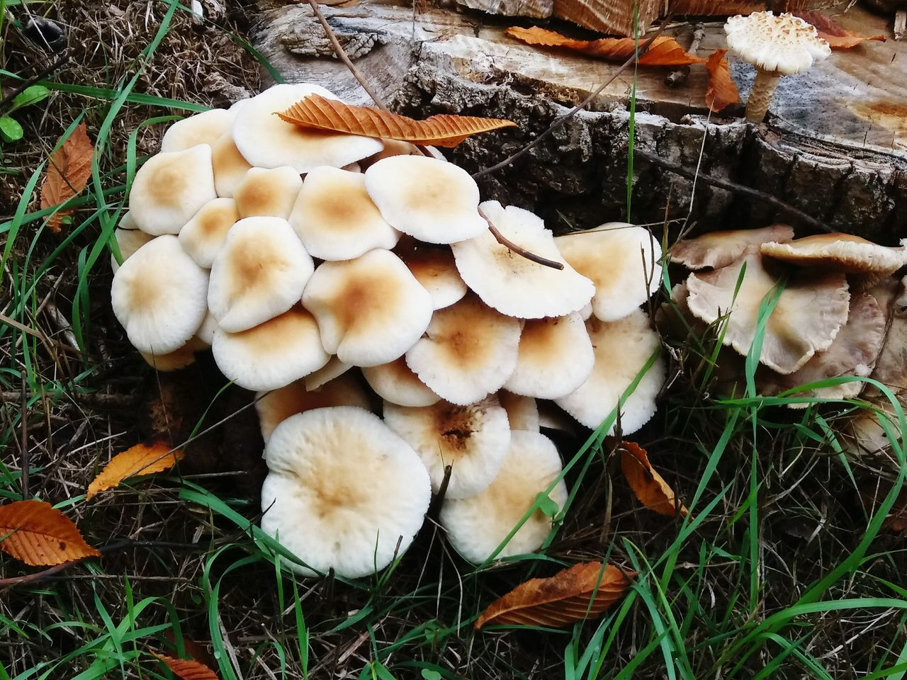 Mushroom Fungus Nature Outdoors Beauty In Nature Setas Segovialdia Segovia SPAIN Segoviafoto Mushroomphotography Mushroom Collection Mushroom Hunting Mushrooms On A Tree