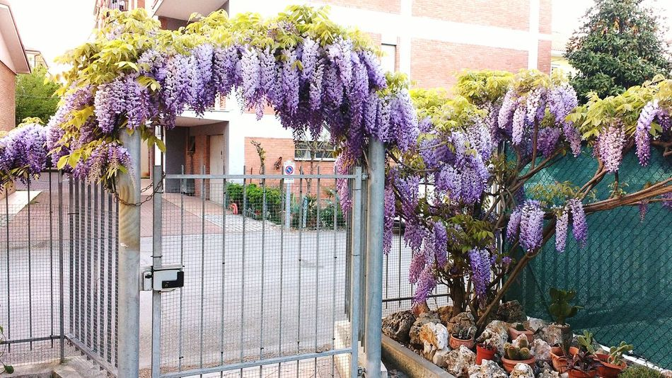 Purple Glicine Glicineinfiore Nature Plant Beauty In Nature Home Building Exterior No People