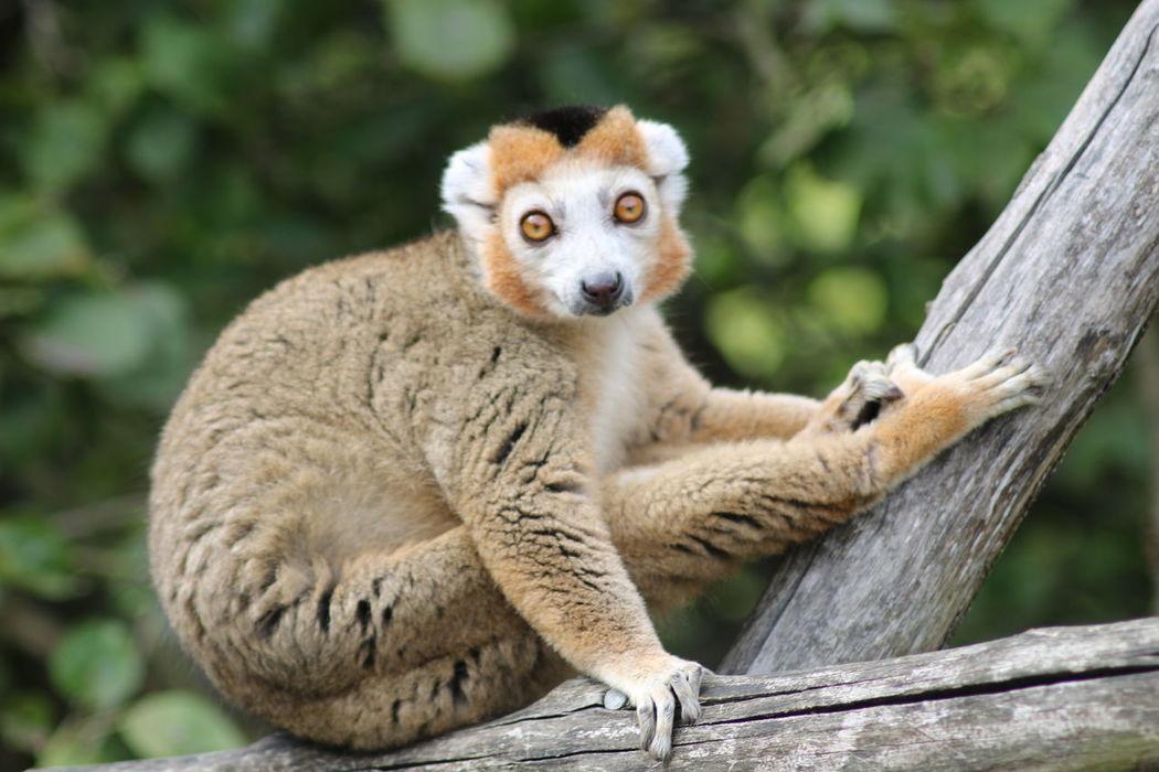 Strike a pose! Animal Photography Animal_collection Close-up Lemur Mammal No People One Animal Zoo Animal Themes Nature_collection Animal Animal Photo Animals Nature Photography Nature Zoology