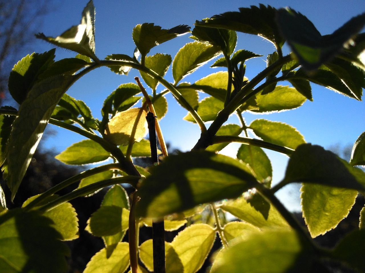 leaf, growth, sunlight, nature, no people, plant, day, tree, outdoors, low angle view, close-up, beauty in nature, branch, sky, freshness
