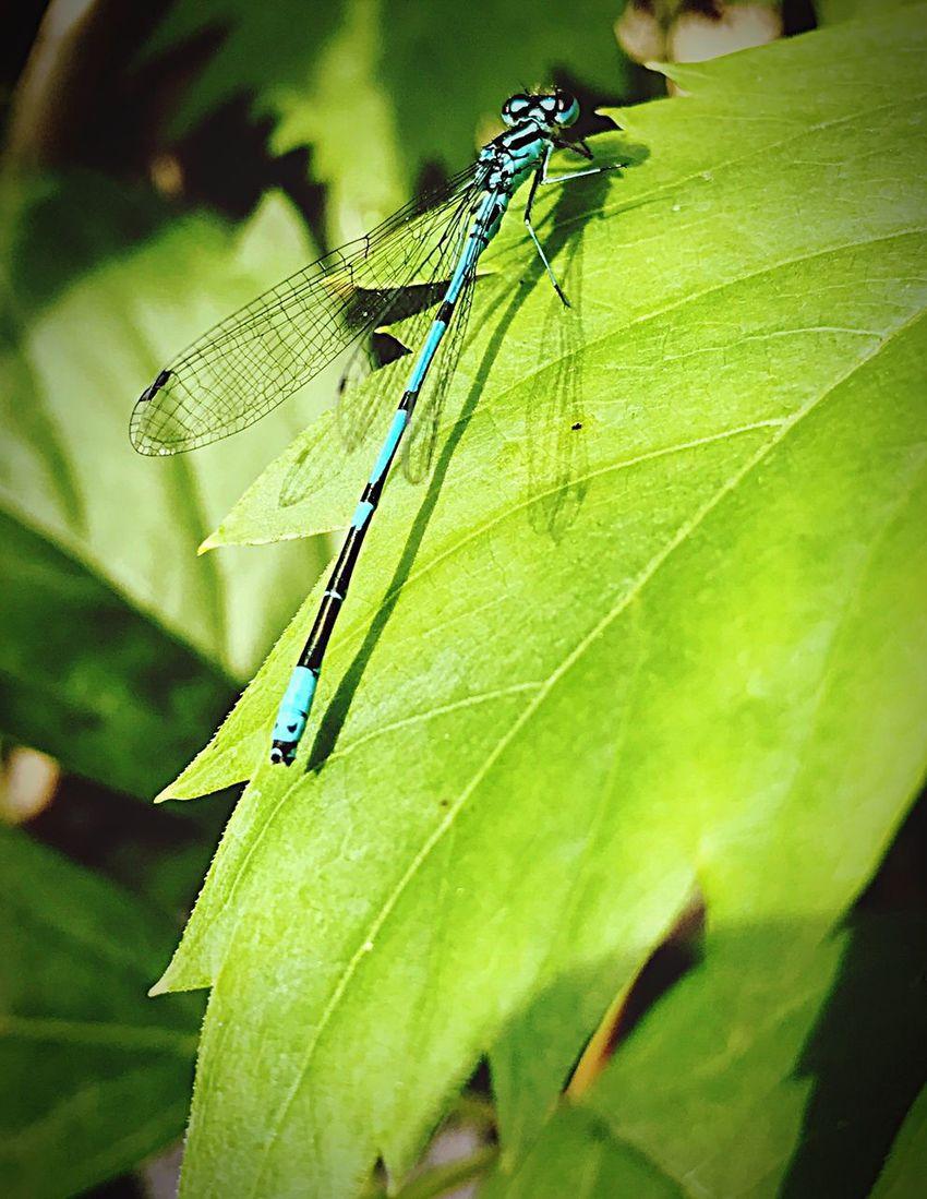 Dragonfly Ważka Owad Insect