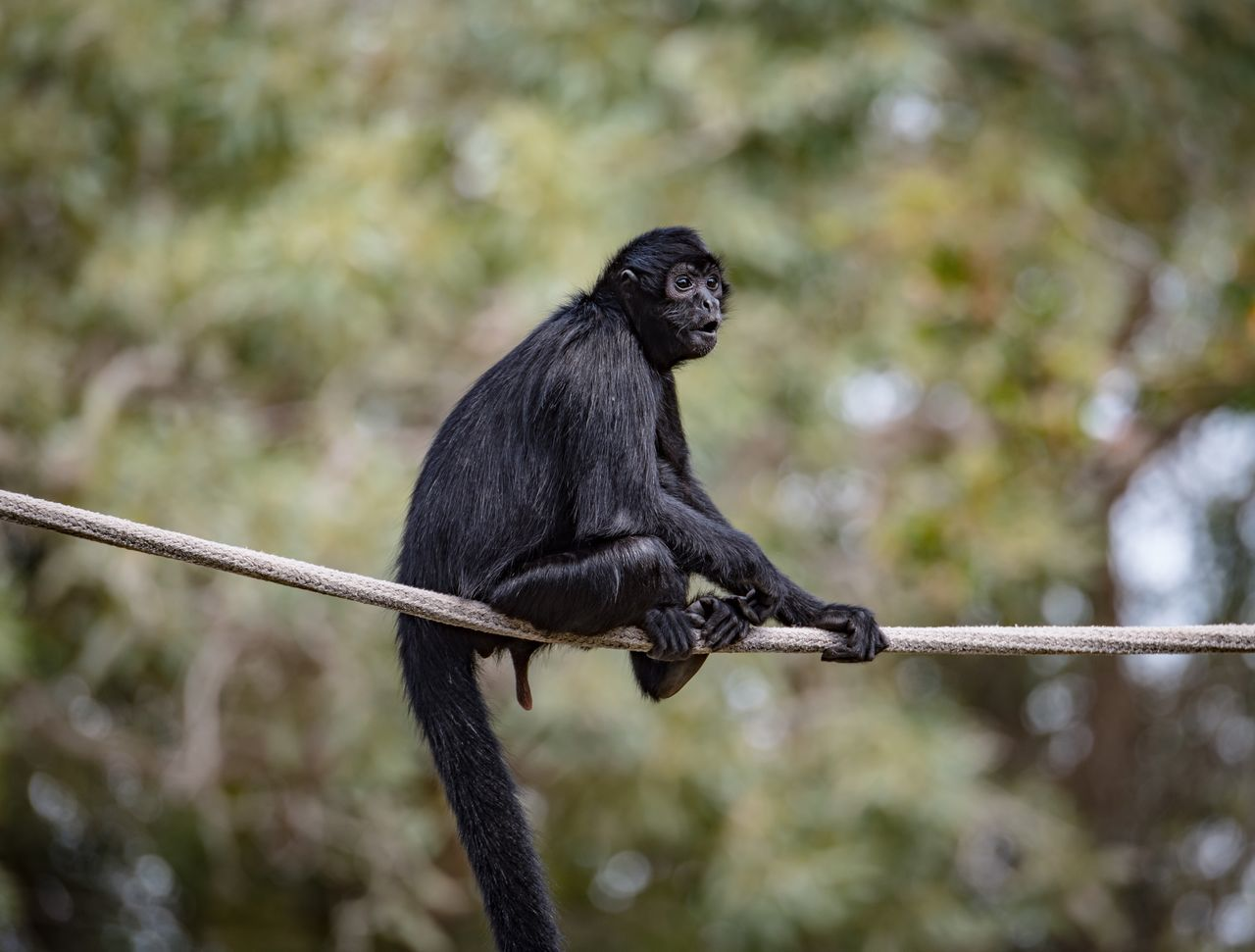one animal, animal wildlife, animal themes, animals in the wild, no people, focus on foreground, monkey, mammal, outdoors, day, black color, nature, tree, full length, perching, close-up, bird