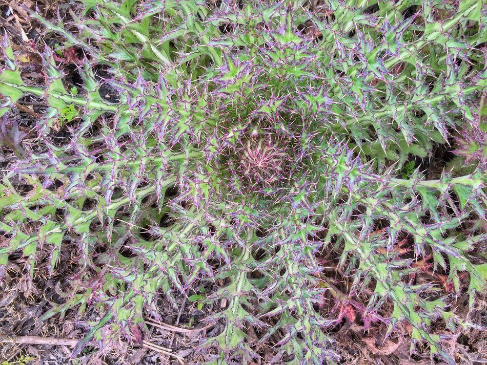 Thistle plant Florida Nature Florida Trail Three Lakes WMA Thistle Thistles Thorns Spines Pickers