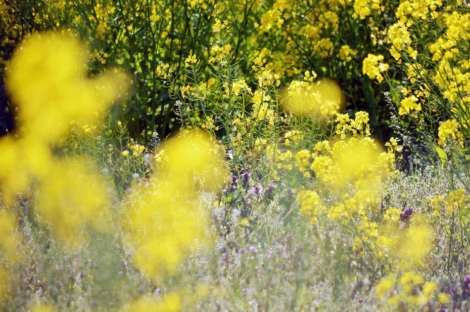 Flower Yellow 菜の花 花 黄色 🌼🌼🌼🌼 マクロレンズほしい…。カメラ上手い人と散歩いって教えてもらいたい… 😩