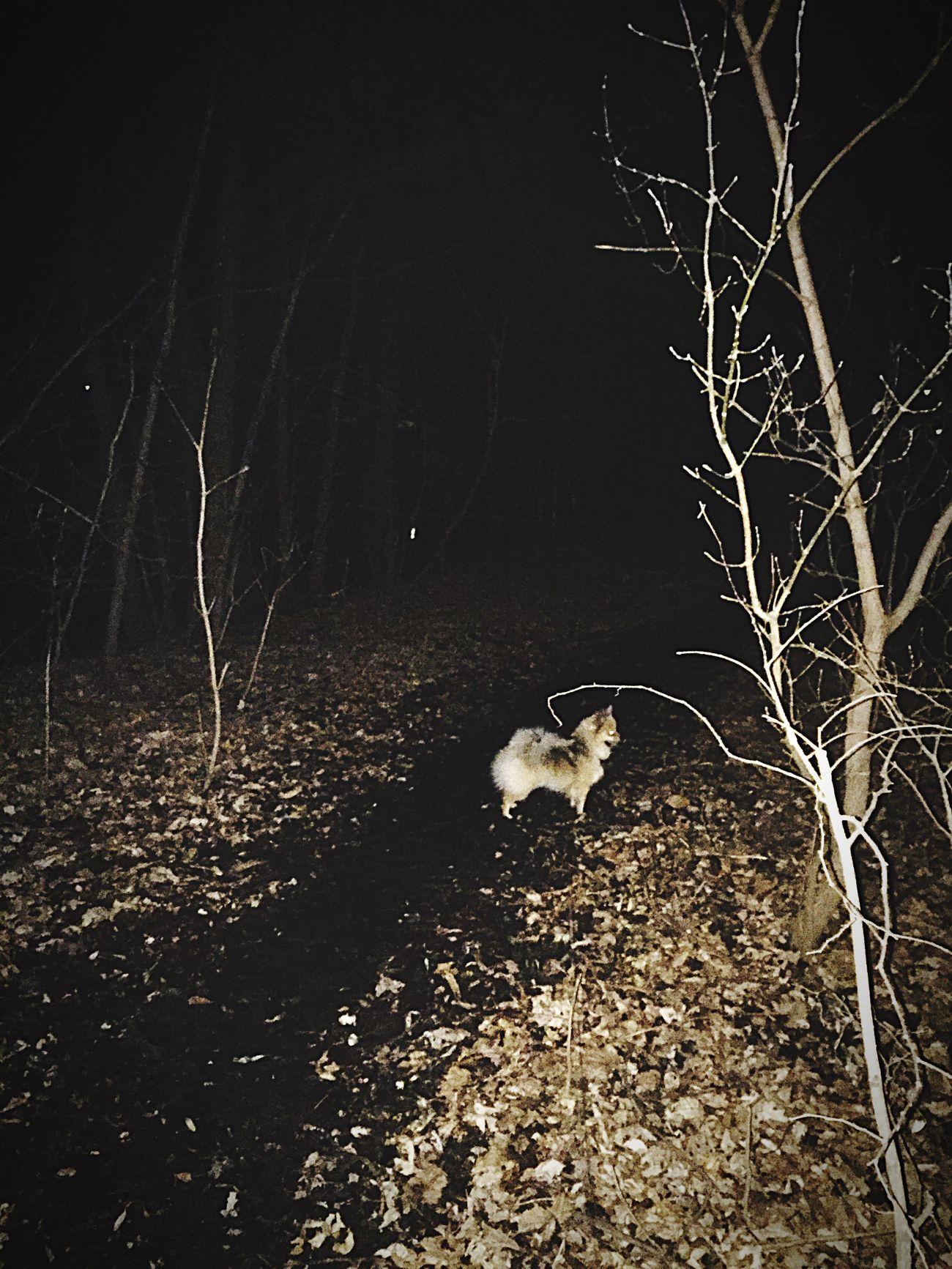 Night time walks Night Pets Tree Dog Walks Nature Outdoors Pomeranian by Lake Nokomis Minnesota