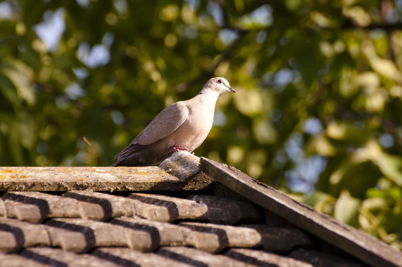 Collared Dove Animals In The Wild Bird Collared Dove Dove Perching