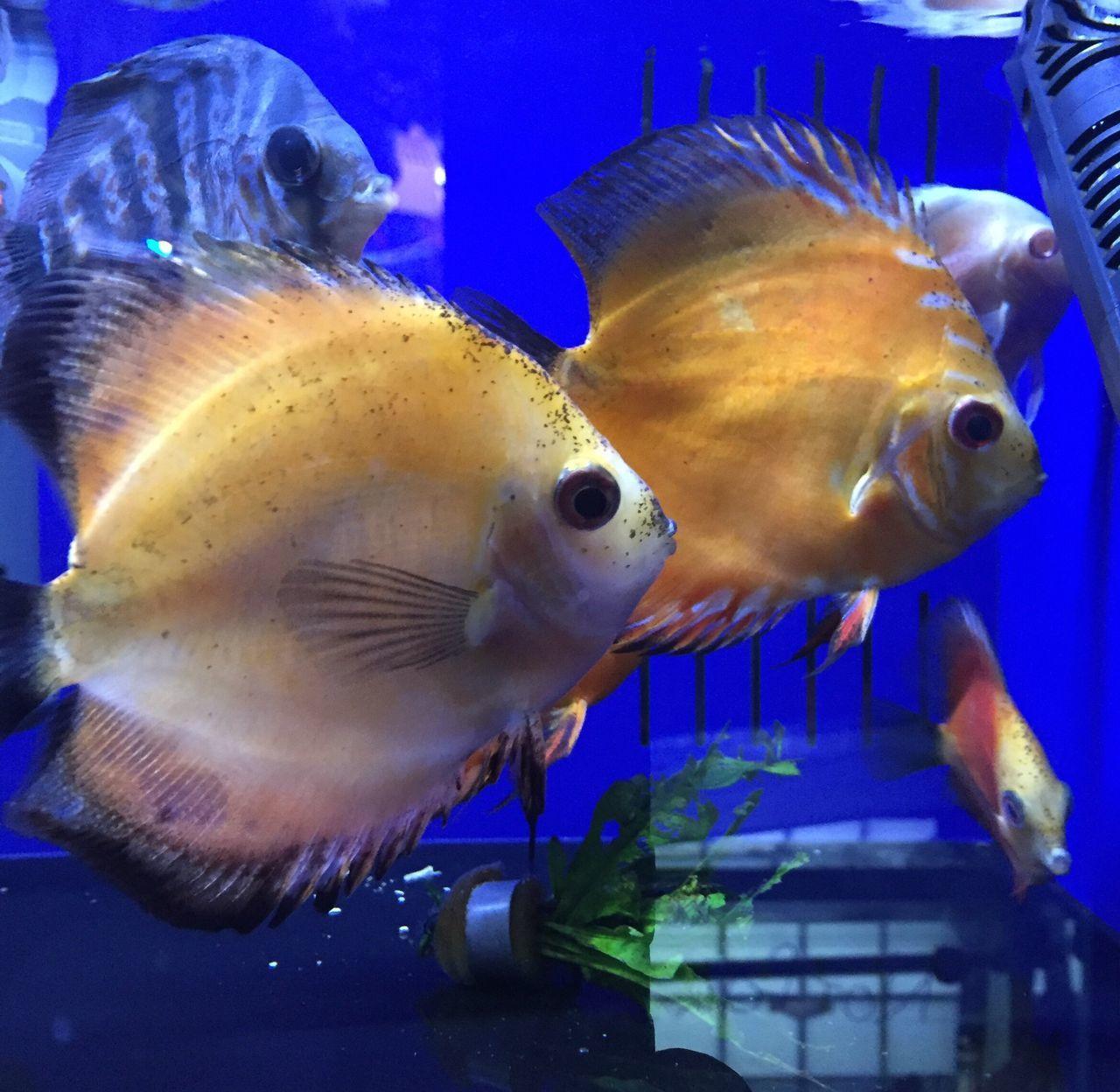 animal themes, fish, water, sea life, aquarium, animals in the wild, underwater, animals in captivity, swimming, no people, animal wildlife, indoors, close-up, blue, one animal, nature, goldfish, undersea, day, mammal