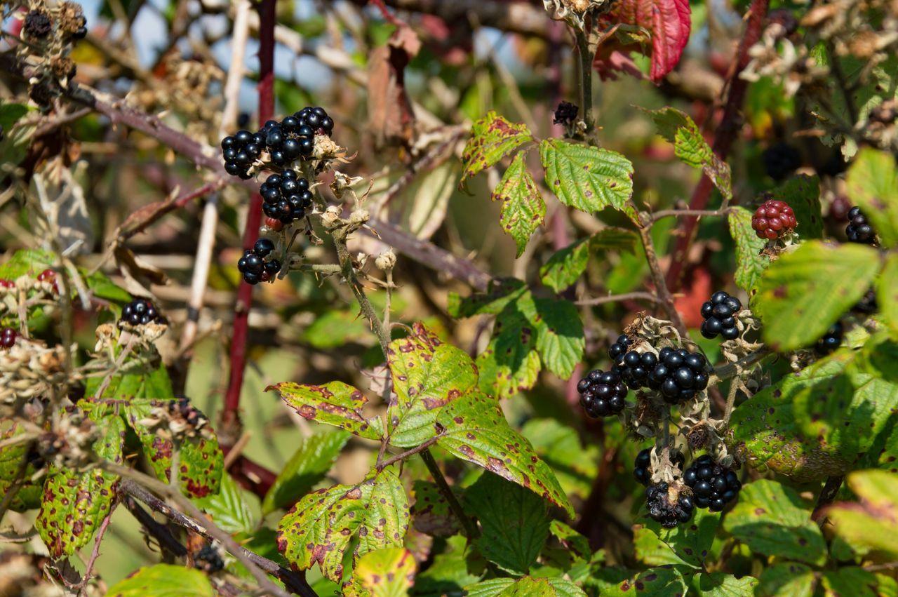 Blackberries Growing On Plant