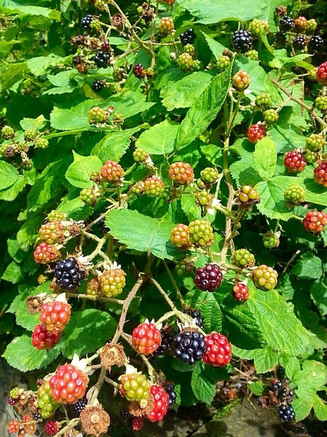 Harvest Summer Fruits Autumn Is Coming Blackberry Fall Beauty