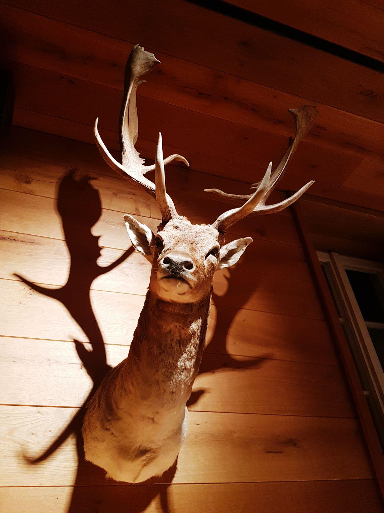 Animal Body Part Animal Wildlife One Animal Deer Indoors  Hirschgeweih Deer Moments Deer Heads Deer Horns Rustic Style EyeEmNewHere