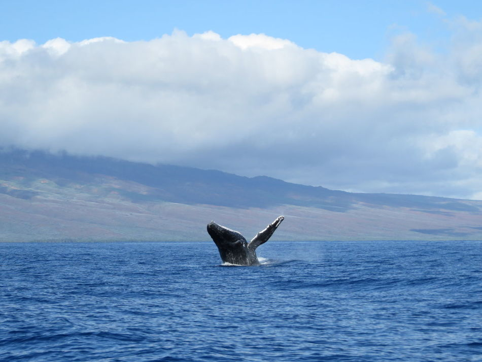 Beautiful stock photos of blue whale, Animal Themes, Blue, Cloud, Lahaina