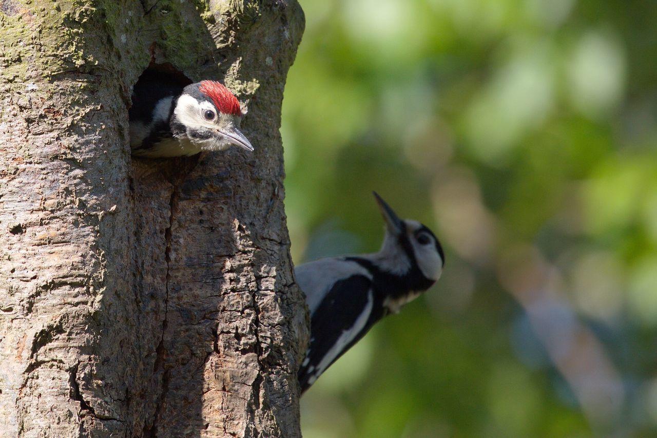 Beautiful stock photos of woodpecker, Animal Themes, Animal Wildlife, Animals In The Wild, Beak