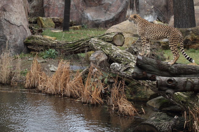 I was lucky to had water between me and this big cat! Acinonyx Jubatus Gepard Nature Outdoors Zoology
