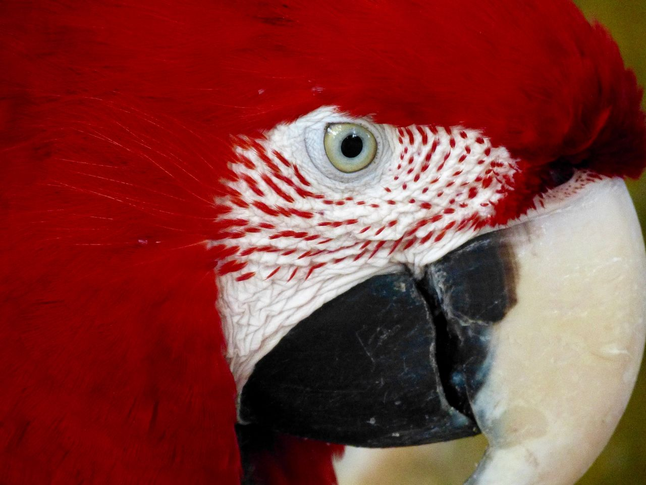 red macaw parrot, Roter Ara Papagei Animal Eye Ara Beak Beauty In Nature Close-up Macaw Parrot Macaws Nature No People One Animal Papagei Parrot Parrot Lover Red Zoology