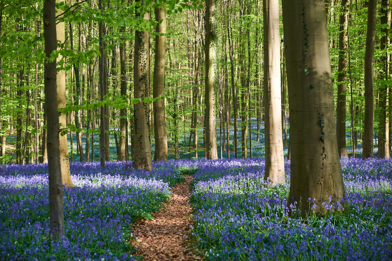 The marvelous Hal forest in Spring - Abundance Beauty In Nature Blossom Blue Bells Flower Footpath Forest Fragility Freshness Green Color Growing Hallerbos Landscape Nature Outdoors Plant Purple Scenics Tranquil Scene Tranquility Tree Tree Trunk Wood Feel The Journey The Great Outdoors With Adobe
