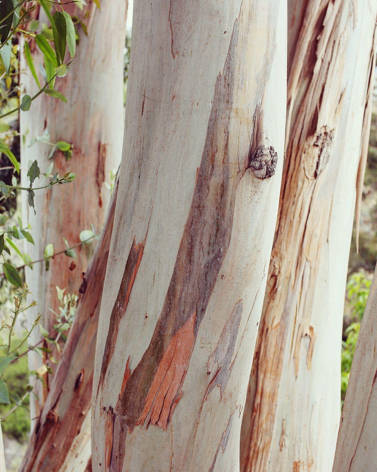 Eucalyptus Tree Tree Trunk Bark Eucalyptus