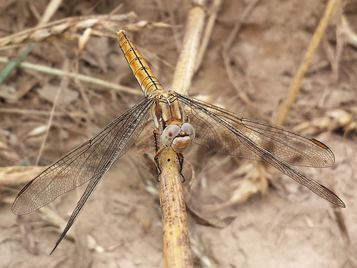 Orthetrum Brunneum - Serchio River Arthropoda Close-up Dragonfly Nature Insects Dragonfly Series Dragonfly💛 Hexapoda Insect Insecta Libellulidae Nature Odonata Orthetrum Orthetrum_bruneum Outdoors