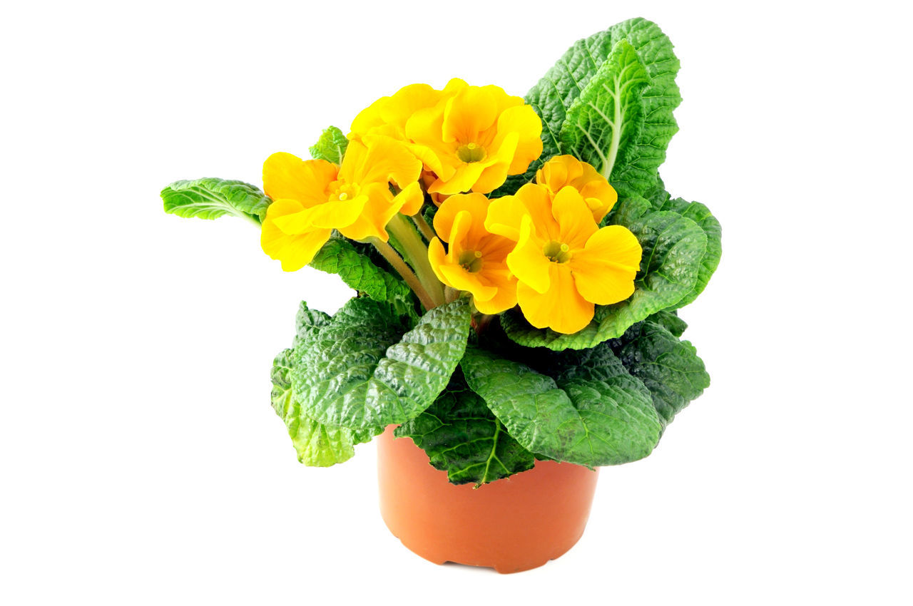 yellow primula flower in flowerpot on white isolated background. Gardening Isolated Isolated On White Isolated White Background Potted Plant Primrose Primroses Primula Primulas Yellow Yellow Flower