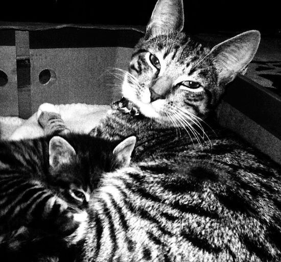 Cookie aged 6 months with his baby brother Dexter Cats Kittens Cats Of EyeEm Tabby Cats Cute Cuddles Beautiful Kittens Black And White Photography Cat Brothers
