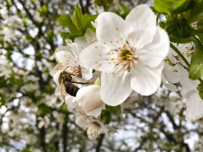 Nature Growth Beauty In Nature Flower White Color Close-up Petal No People Plant Tree Flower Head Fragility Blossom Outdoors Day Freshness Springtime Nature Photography Natureporn Mothernature Bee